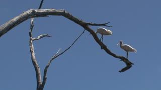 Spoonbill at Kangaroo island,Australia