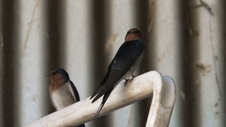 Swallow birds in the Outback of Australia