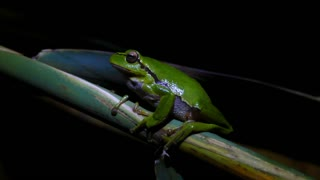 The green tree frog sitting on a branch at night in Greece