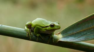 The green tree frog sitting on a branch in Greece