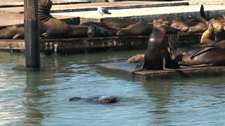 Two Sea lions kissing each other in the water at Pier 39