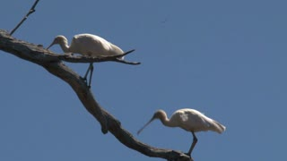 Two Spoonbills at a tree,Kangaroo island,Australia