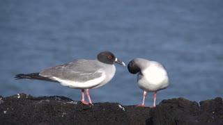 Two swallow-tailed gulls at the rocks at the Galapagos Islands, Ecuador
