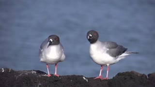 Two swallow-tailed gulls shaking their head in slow motion at the Galapagos Islands, Ecuador