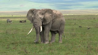 Old African Elephant grazing on the grassland