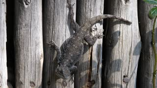 A southern tree agama on a fence of Waterberg South Africa