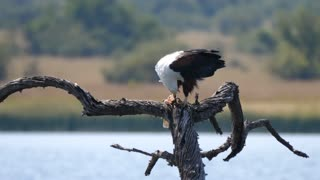 African fish eagle eats a fish while on a tree in Pilanesberg Game Reserve South Africa