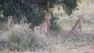 Herd of cheetahs under a bush in Pilanesberg Game Reserve South Africa