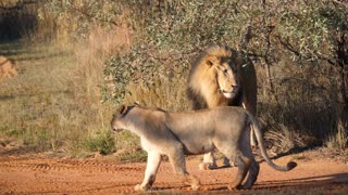 Lions family walking away in Waterberg South Africa