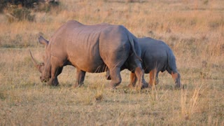 Mother and baby rhino walking in Waterberg South Africa