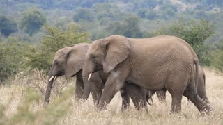 Pan from three elephants walking in Pilanesberg Game Reserve in South Africa