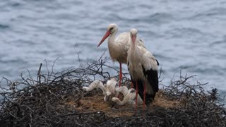 Storks nest with young while one parent flies away on the cliffs of Cabo Sardao in Portugal