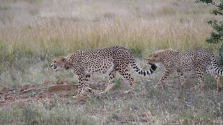 Two cheetahs walking behind each other in Pilanesberg Game Reserve South Africa