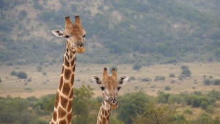 Two giraffes looking in to the camera and one walks away in the Pilanesberg Game Reserve South Africa
