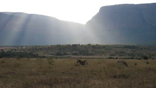 Zebras with sun shining over the savanna in Waterberg South Africa