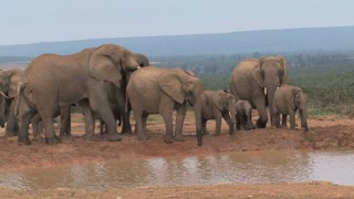 Herd of African Elephants at a watering hole