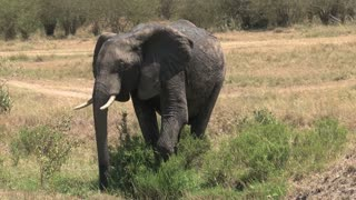 Muddy African Elephant drinks from a watering hole on the savanna