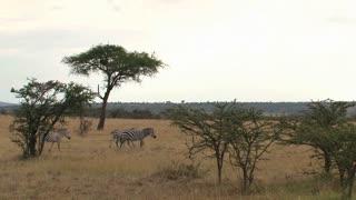 Three Zebras walking on the savanna