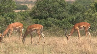 Herd of Gazelles grazing on the savanna