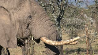 Old African Elephant eating leaves from a tree on the savanna