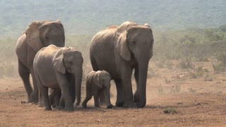 Herd of African Elephants walking on the savanna