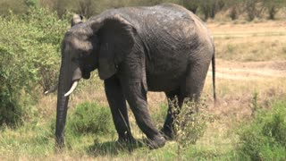 Muddy African Elephant grazes on the savanna