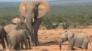 Herd of African Elephants walking on the savanna