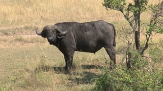 African Buffalo standing under a tree on the savanna