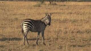 Lone Zebra walking on the savanna