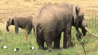 Pair of African Elephants drinking and cooling off at a watering hole