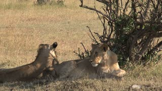 Pair of Lionesses resting under a tree