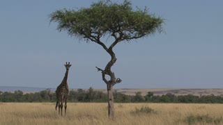 Giraffe standing under a tree on the savanna