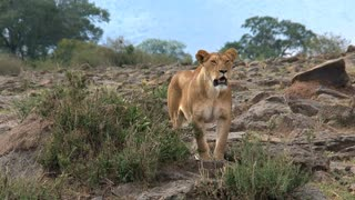 Lioness standing guard on the savanna