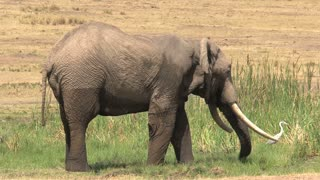 African Elephant drinking and cooling off at a watering hole