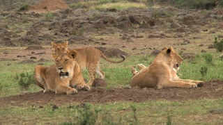 Pride of Lions resting on the savanna