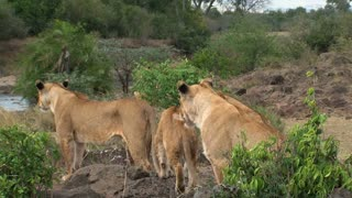 Lionesses standing on the savanna near a watering hole