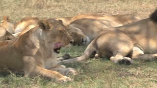 Lions resting in the shade on the savanna