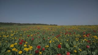 A field of red and yellow flowers