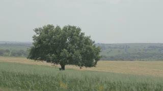 An Oak tree in a wheat field