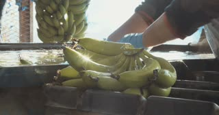 Bananas washed in a large water container during harvest and packing process