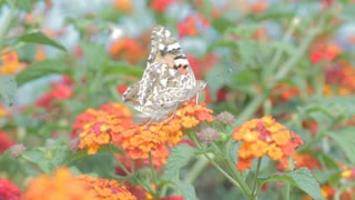 Butterfly drinking nectar from a flower