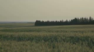 Fields of green wheat