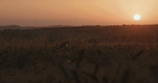 Girl running in a wheat field during sunset
