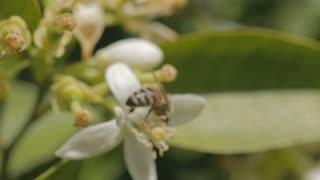 Honey bee drinking nectar from a citrus tree