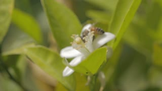 Honey bee pollinating a citrus tree flower