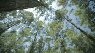 Low angle shot of a forest of pine trees