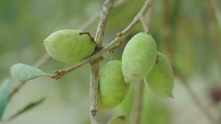 Macro shot of Olives on a tree