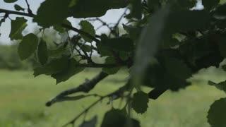 Oak tree branch with leafs