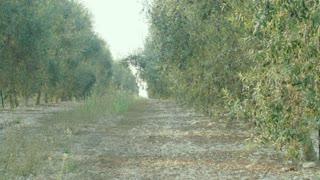 Olive tree plantation