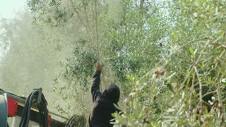 Olives falling on the ground during an Olive harvest